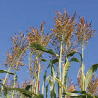 kws_sorghum_sole.png