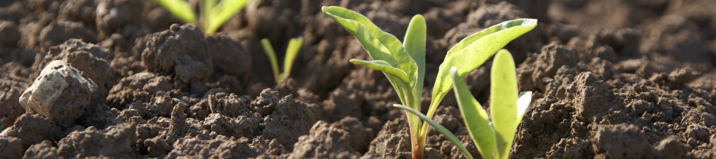 kws_sugarbeet_header_15.jpg