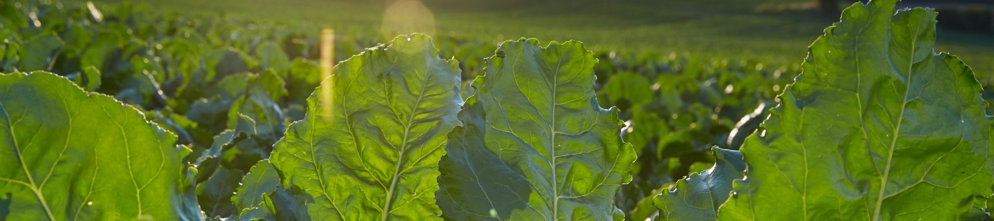 kws_sugarbeet_header_18.jpg