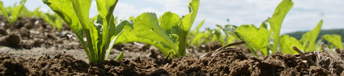 kws_sugarbeet_header_17.jpg