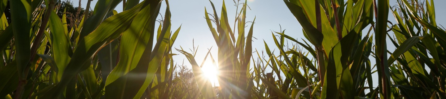 Corn field in the sun