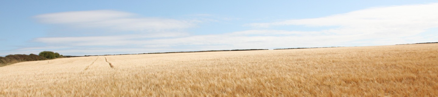 KWS_field_of_barley_with_a_blue_sky.jpg