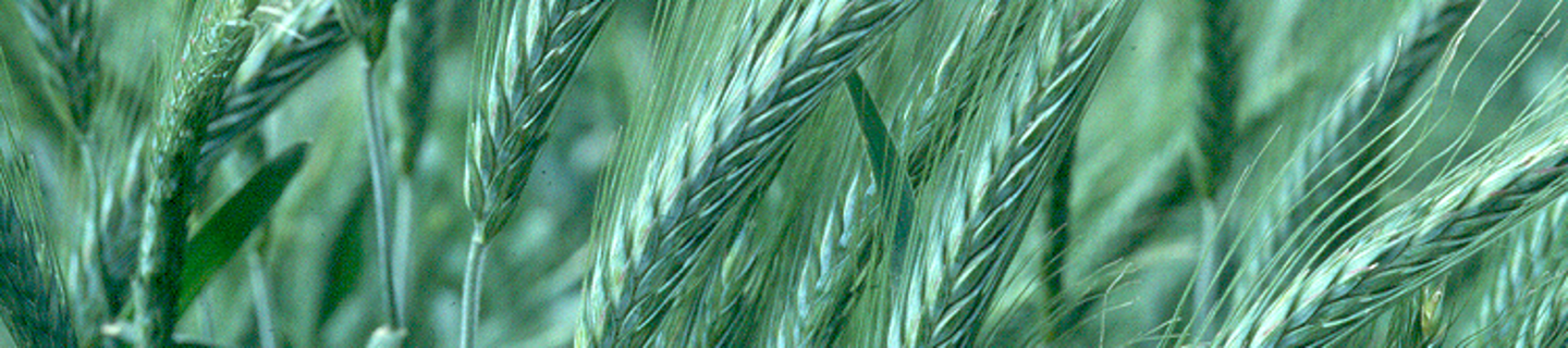 triticale_bestand.png
